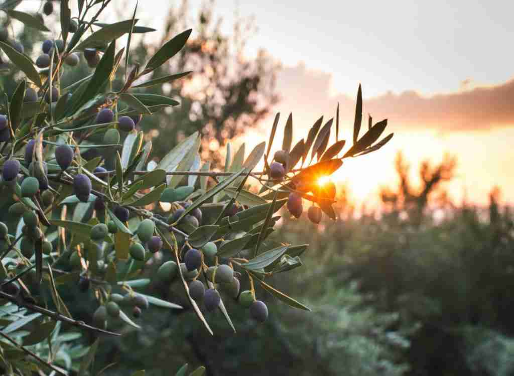 5 Of The Best Companion Plants For Olive Trees To Know About
